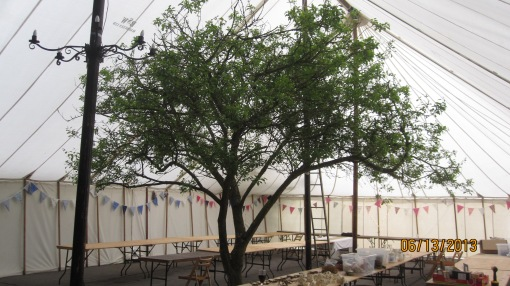 Inside the marquee. Yup, that's a genuine, full grown greengage tree under the big top! It was one mother of a marquee...