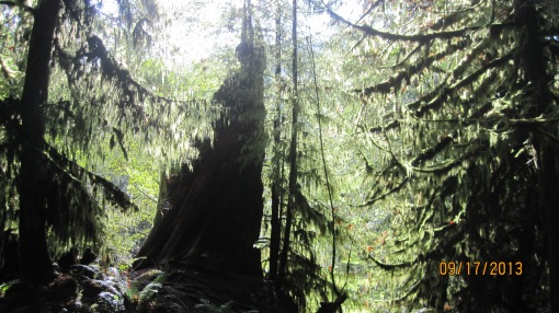 It's easy to forget how impressive Cathedral Grove is. English Julie  thought it was the most beautiful place she visited in BC